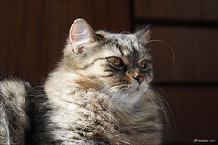 Amy (Hansmannn) Tags: cat amy pussy kitty