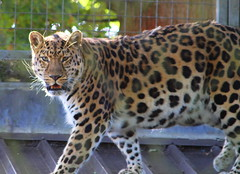 IMG_1815 (Sookie's Photography) Tags: birds animals tiger tigers meercats monkeys cubs bigcats pandas redpandas meerkats leopards snowleopards snowcubs flikrbigcats