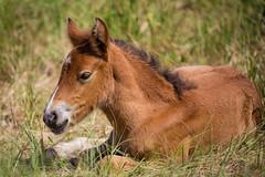Foal Taking a Little Break (jeff_a_goldberg) Tags: horse canada novascotia nationalgeographic wildhorse parkscanada loh sableisland feralhorse fishermansharbour sableislandhorse sableislandpony sableislandnationalparkreserve