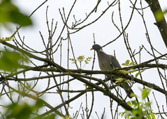 Tourterelle (sebcloss) Tags: nature pigeon promenade animaux arbre sentier oiseau canard chemin forêt verdure étang camargue balade sauvage tourterelle ruisseau perché petitecamargue greatnature ã©tang forãªt perchã©