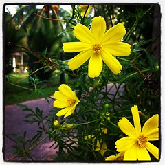 Good Morning from Negambo ⛅☀⛵#flowers #morning #beautifulmorning #yellow #yelloflowers #saturdaymorning (Sayan Devaan Leanage) Tags: flowers yellow square yellowflower squareformat goodmorning inkwell negambo morningflowers iphoneography instagramapp uploaded:by=instagram