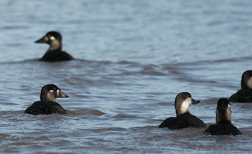 Black Scoter. GMNH 6898. Lake Oconee, Putnam County, 6 November 2009. Photo by Walter Knapp
