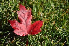 fall (christiaan_25) Tags: autumn red green fall grass leaf maple ground dew fallen redmaple