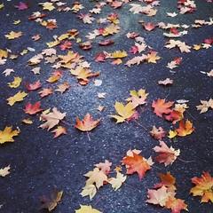 Autumn Leaves (bowtiezsarecool) Tags: autumn leaves jelgava rudens lapas
