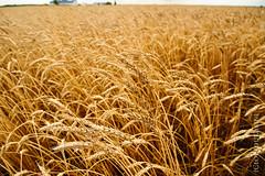 Bl triste (jourduf) Tags: agriculture campagne bl premieremoisson
