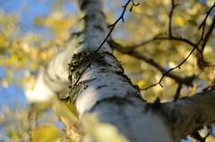 Morning Light (james54235) Tags: tree nature dof bokeh smooth birch
