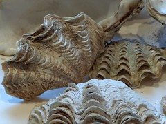 Tridacna squamosa (tropical-seashells) Tags: tridacna cites buleleng divodurum tropicalseashells
