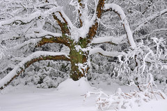 06_02_2009_0105 (andysuttonphotography) Tags: wood trees winter england white snow cold tree green weather forest woodland frozen woods snowy branches freezing bark bow milton keynes deciduous climate wintry brickhill