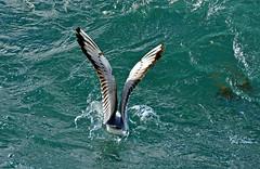 Se poser dans les vagues (Diegojack) Tags: eau lac lman oiseaux montreux golands vision:outdoor=099