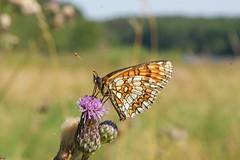 Scheckenfalter (planetvielfalt) Tags: deutschland lepidoptera sachsen schmetterlinge nymphalidae dübenerheide hachemühle