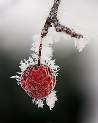 _MG_8877 (Mary Susan Smith) Tags: winter red cold frozen berry frost hoarfrost ottawa shallowdof gamewinner challengeyouwinner cychallengewinner thechallengefactory tcfwinner cyunanimous