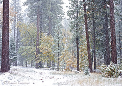 Dreaming of a White Christmas (SLEEC Photos/Suzanne) Tags: california trees snow nature pine forest fur landscape oak bigbear
