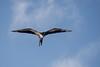 "_DSC6074 ""Female Magnificent Frigatebird"" (ChanHawkins) Tags: am galapagos april magnificent tagus cove"" ""female 12"" frigatebird"" ""isabellacaleta ""fri"