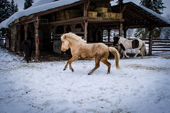 Cleo, Sola, and Saga (Amy.Equine) Tags: winter horses snow playing gallop icelandic