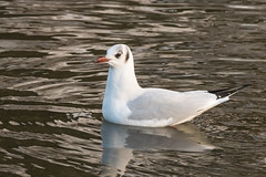 bhg looking-2244 (WendyCoops224) Tags: black canon eos gull local headed 70d 18135mmstm drspond