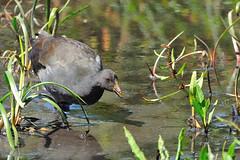 female swamphen? (jk1668) Tags: portrait bird nature birds animal canon lens birding flight australia explore tele sx50
