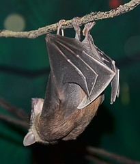 Short-tailed Fruit Bat hanging