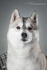 Husky (Alfred M.) Tags: dog pet cute animal husky