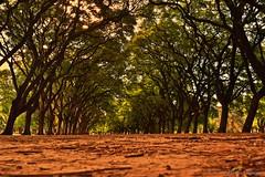 Arboleda Palermo Bosques (marciacalazans) Tags: trees garden arboles buenos aires jardin plazas arvores palermo parques