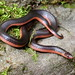Carphophis vermis (Western Worm Snake)