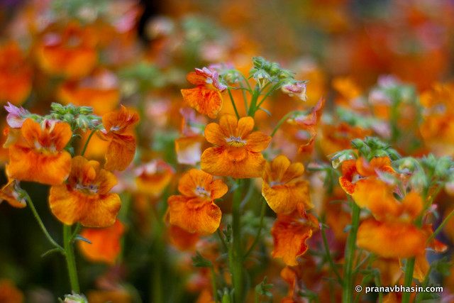 Orange Flowers, At Leisure Valley, Gurgaon, Haryana