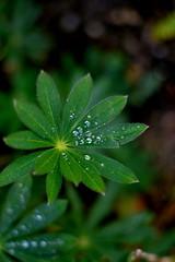 DSC_0100 (brijjour) Tags: bokeh vert feuille rose