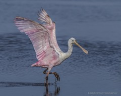 Roseate Spoonbill (Carol Huffman Photography) Tags: nature birds florida wildlife fl titusville roseatespoonbill nwr merrittislandnwr