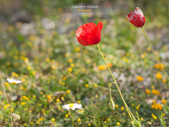 Spring colors in the Cantabrian Mountains (Carlos Ciudad - Stock Photography) Tags: flowers españa naturaleza flores macro primavera nature colors spring spain europa europe bokeh colores faded leon desenfoque poppy poppies fade fading margaritas gettyimages daisys marchita whiter colorido amapolas whitered castillayleon cordilleracantabrica e520 olympsu cantabrianmountains castilleandleon cctrillastock lasespina