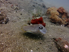 Cuttlefish, Seraya (yayapapaya77) Tags: bali sepia indonesia sand underwater stones diving steine cuttlefish corals indonesien seraya tauchen unterwasser korallen tulamben canonpowershotg15