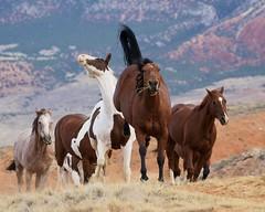 Hey Buddy --- No Tailgating! (blackhawk32) Tags: horses horse west cowboys cowboy shell wranglers wyoming mustang cowgirls wy wrangler buckinghorse hideoutlodge