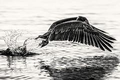 flying pelican... (unplugged - photography) Tags: sea bw white black bird water animal flying wings meer wasser pelican jamaica sw pelikan negril tier vogel fliegen 2014 flgel
