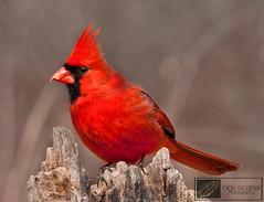 Northern Cardinal (Nick Scobel) Tags: male cardinal michigan kensington northern cardinalis