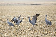 Sandhill Crane Migration (Michael Zahra) Tags: usa toronto canada bird water field america corn nebraska crane migration sandhill