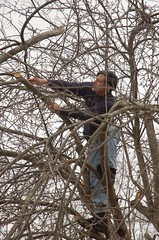 "Steve's Apple Pruning Acrobatics <a style=""margin-left:10px; font-size:0.8em;"" href=""http://www.flickr.com/photos/91915217@N00/13528270975/"" target=""_blank"">@flickr</a>"
