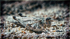 Stop Buggin Me (hbmike2000) Tags: california usa macro closeup bug insect wings sand nikon breast desert legs sandy ground dirty dirt camouflage coachellavalley grasshopper locust d200 hdr deserthotsprings hoya odc closeuplens sandgrains coachellavalleynaturepres