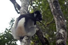 species: Indri indri. Indri - Analamazaotra National Park, Madagascar