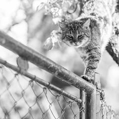 cat /explored 28.4.2014/ (I.Dostál) Tags: bw white black cat canon fence square 1 8 explore 500x500 vystava thecatwhoturnedonandoff thelittledoglaughednoiretblancet