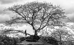 The tree (Eyecandy Photography UK) Tags: tree nature outdoors mono climb oak play adventure