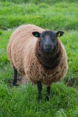 Baaa! (@Dave) Tags: silhouette nikon sheep lamb nikkor dslr d600