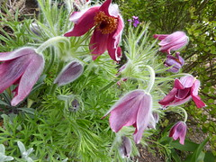 Pasqueflower or Meadow Anemone (IrenicRhonda) Tags: flowers public geotagged scotland highlands unitedkingdom escocia april done inverness schottland ecosse 2014 gbr highlandsandislands 500px redbubble lascozia  invernesswestward geo:lat=5746327285 geo:lon=423954608