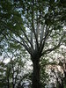 (William Keckler) Tags: sycamore hugetree largetree veryoldtree