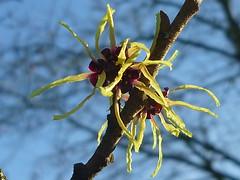 Hamamelis japonica (Jörg Paul Kaspari) Tags: winter flower yellow gelb blüte japonica trier februar hamamelis gelbe zaubernuss 2015 hamamelisjaponica petalen winterblüher winterzaubernuss