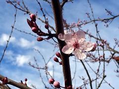 Plum blossom (jenn2d2) Tags: flowers spring blossoms plum olympia plumblossoms