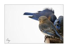 Eastern Blue Bird Feeding (5) (CoreysPics) Tags: winter snow birds canon print birdseed birdfeeder dslr jpeg export easternbluebird ef100400f4556lisusm 7dmii eos7dmii