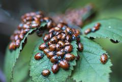 Convergent Ladybugs (lacey underall) Tags: california oakland insects ladybug overwintering alamedacounty arthropod ladybirdbeetle coccinellidae hippodamiaconvergens hippodamia diapause redwoodregionalpark eastbayregionalparks convergentladybugs coleopterabeetle