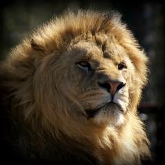 The King (Jaedde & Sis) Tags: lion male portrait bokeh challengefactorywinner thechallengefactory pregamewinner a3b herowinner gamewinner 15challengeswinner flickrchallengewinner flickrchallengegroup challengeyouwinner challengeclubwinner