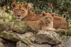 JaxZoo_2-9-15-5772 (RobBixbyPhotography) Tags: baby cub babies lion lions