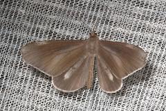 Hedylidae: Macrosoma lucivittata (male) (K. Zyskowski and Y. Bereshpolova) Tags: brazil amazonas yavari javari palmari hedylidae macrosoma lucivittata