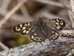 Speckled Wood (ukstormchaser (A.k.a The Bug Whisperer)) Tags: wood uk trees macro tree insect fly afternoon may butterflies insects flies milton keynes speckled basking
