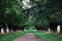 Prospettive di gelsi (Marta Montresoro) Tags: tree green nature canon photography tci premio prospettiva concorso filare